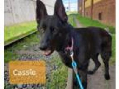 Adopt CASSIE a German Shepherd Dog, Mixed Breed