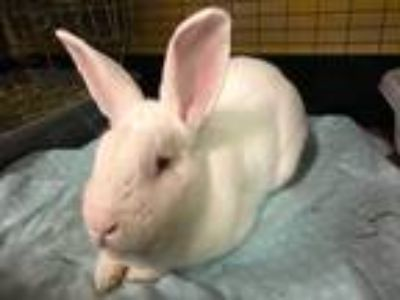 Adopt Ned a White New Zealand / Mixed rabbit in Woburn, MA (25316848)