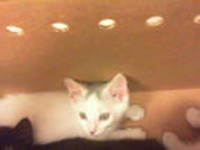 Adopt *CAT STEVENS a White (Mostly) Domestic Shorthair / Mixed (short coat) cat