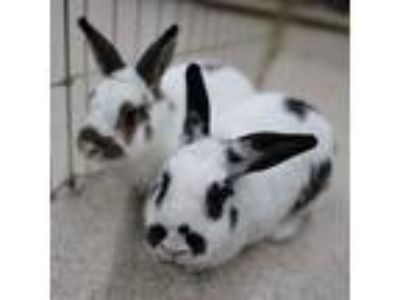 Adopt Celie & Renee a Black Other/Unknown / Mixed (short coat) rabbit in