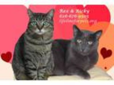 Adopt REX & RICKY (Brothers) a Domestic Short Hair