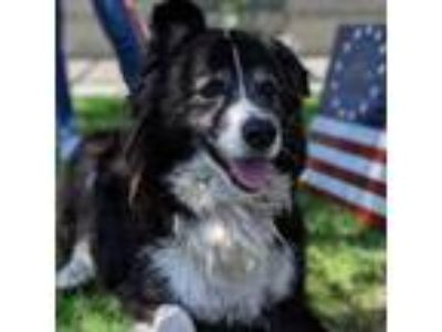 Adopt Rocco a German Shepherd Dog, Collie