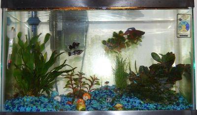 10 gallon aquarium; light, pump, accessories and two little koi