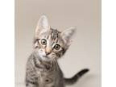 Adopt Moe a Domestic Short Hair
