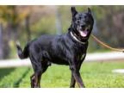 Adopt ROCKIE a German Shepherd Dog, Mixed Breed