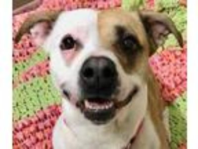 Adopt Shella a White American Pit Bull Terrier / Mixed dog in Wenatchee