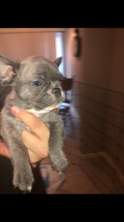 American French Bull Terrier PUPPY FOR SALE ADN-93656 - French Bulldogs