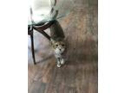 Adopt Baby girl a Orange or Red (Mostly) Domestic Shorthair cat in Jonesboro