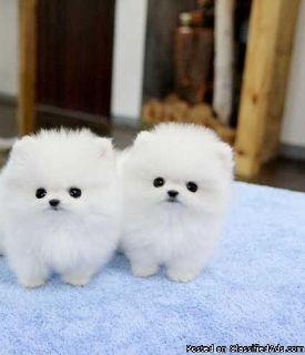 Beautiful Pure Pomeranian Male Puppies