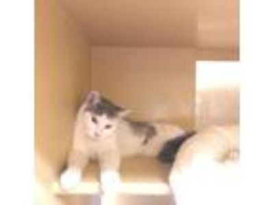Adopt Cleveland a Gray or Blue Domestic Shorthair / Domestic Shorthair / Mixed