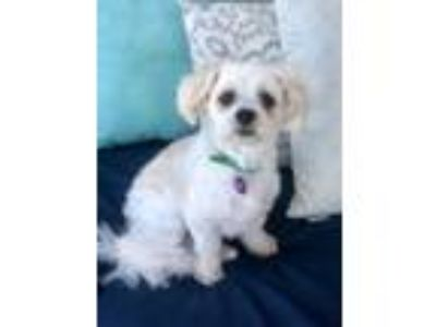 Adopt Ernie a Shih Tzu, Mixed Breed
