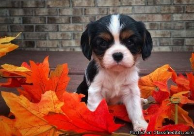 Nice Black and white Cavalier King Charles Spaniel Puppies For Sale