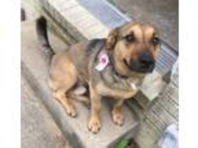 Adopt TONKA a Brown/Chocolate - with Black German Shepherd Dog / Mixed dog in