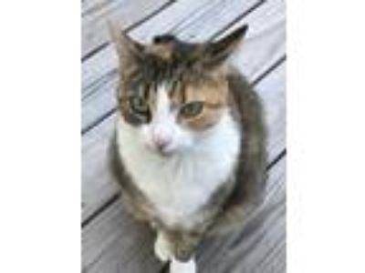 Adopt Capri a Calico or Dilute Calico Calico / Mixed cat in Verplanck