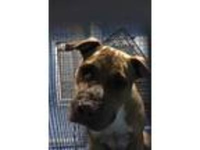 Adopt BETH a Tan/Yellow/Fawn - with White American Pit Bull Terrier / Mixed dog