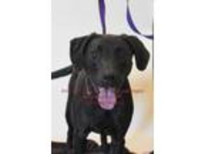 Adopt Mickie a Chocolate Labrador Retriever, Plott Hound