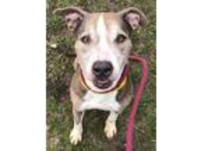 Adopt MYSTIQUE a Brown/Chocolate - with White American Pit Bull Terrier / Mixed