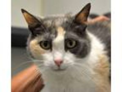 Adopt Claire a Calico or Dilute Calico Domestic Shorthair (short coat) cat in