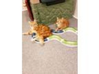 Adopt Cheddar a Domestic Medium Hair