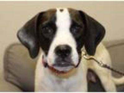 Adopt Juliette a English Springer Spaniel, Pug