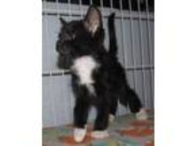 Adopt Kitten B a All Black Domestic Shorthair / Domestic Shorthair / Mixed cat