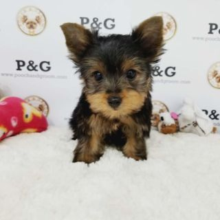 Yorkshire Terrier PUPPY FOR SALE ADN-95718 - YORKSHIRE TERRIER LUCAS MALE
