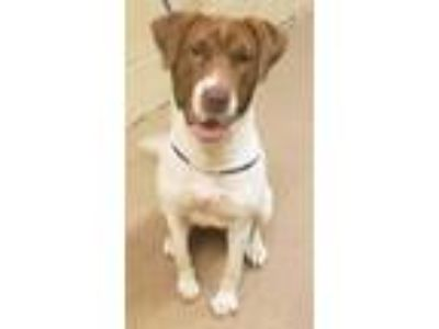 Adopt Lady a White Pointer / Mixed dog in Anderson, SC (25583129)