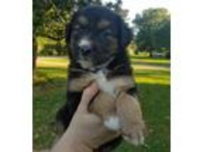 Adopt Rosie a Australian Shepherd / Mixed dog in Little Rock, AR (25370499)