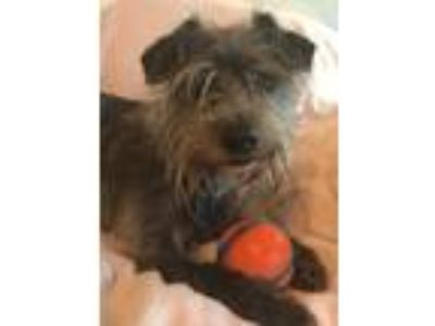 Adopt Cole Haan a Gray/Blue/Silver/Salt & Pepper Terrier (Unknown Type