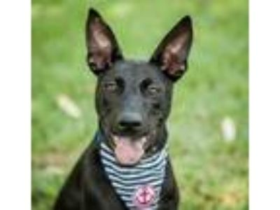 Adopt Bodie a Black Shepherd (Unknown Type) / Labrador Retriever / Mixed dog in
