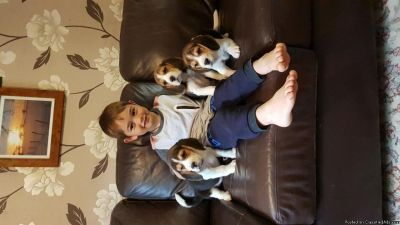 Cute Pedigree Beagle Puppies For Sale