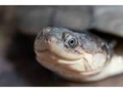 Adopt Rufus a Turtle