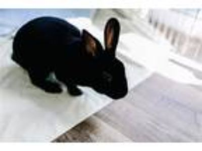 Adopt Midnight a Mini Rex