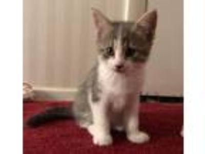 Adopt Mary Darling a Domestic Short Hair