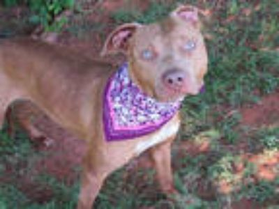 Adopt TAMMY a Tan/Yellow/Fawn - with White American Pit Bull Terrier / Mixed dog