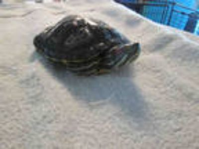 Adopt a Turtle - Other / Mixed reptile, amphibian, and/or fish in Chatsworth