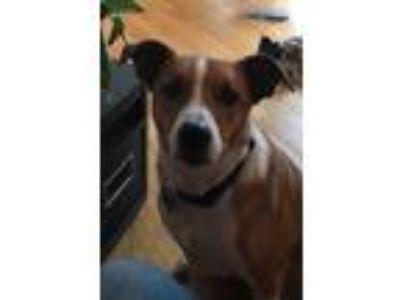 Adopt Marty a Tricolor (Tan/Brown & Black & White) Border Collie / Basenji /