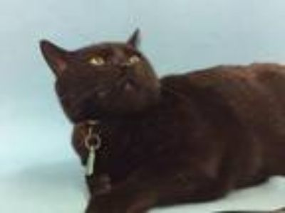 Adopt Winnie a Domestic Short Hair