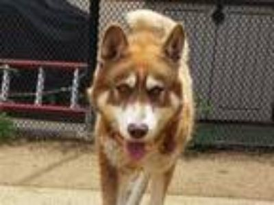 Adopt CHE a Red/Golden/Orange/Chestnut - with White Husky / Mixed dog in