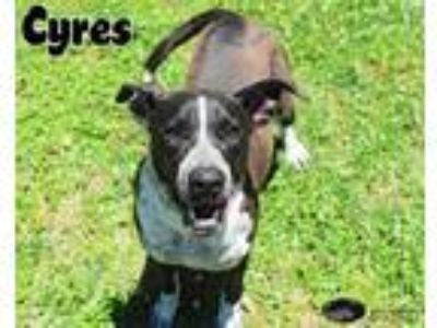 Adopt Cyres a Labrador Retriever / Mixed dog in Gautier, MS (25263909)