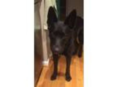 Adopt Reggie a Black - with White German Shepherd Dog / Labrador Retriever /