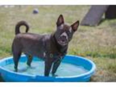 Adopt Oso a Black American Pit Bull Terrier / Mixed dog in Kennewick