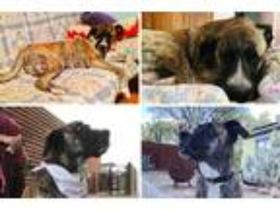 Adopt LAYLA a Tan/Yellow/Fawn - with White Dutch Shepherd / Great Dane / Mixed