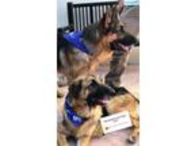 Adopt Kingston a German Shepherd Dog