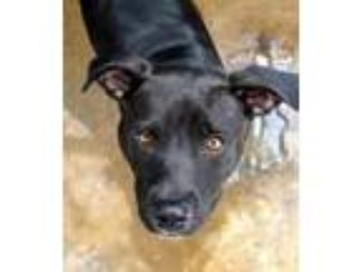 Adopt Midnight a Staffordshire Bull Terrier / Mixed dog in Memphis