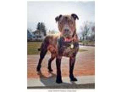 Adopt Lenny a Brindle - with White English Mastiff / Pit Bull Terrier / Mixed