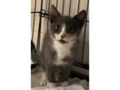 Adopt Renley a Gray or Blue Domestic Shorthair / Domestic Shorthair / Mixed