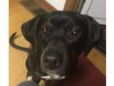 Adopt Delilah a Labrador Retriever, Border Collie