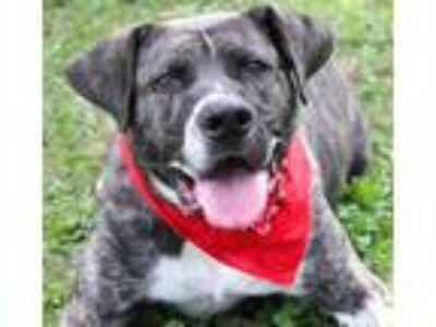 Adopt Chuck a Australian Cattle Dog / Blue Heeler, Mixed Breed