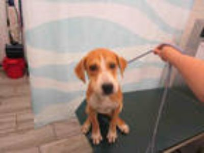 Adopt JED a Tan/Yellow/Fawn - with White Labrador Retriever / Mixed dog in